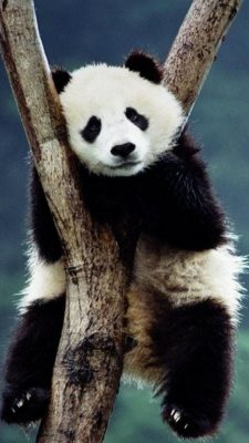 Panda Cute Wallpaper Android High Resolution 1080X1920